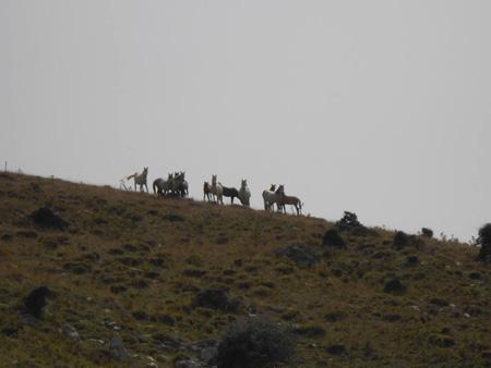 Άγρια άλογα στο Παναχαϊκό